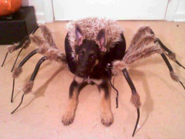German Shepard Spider Costume