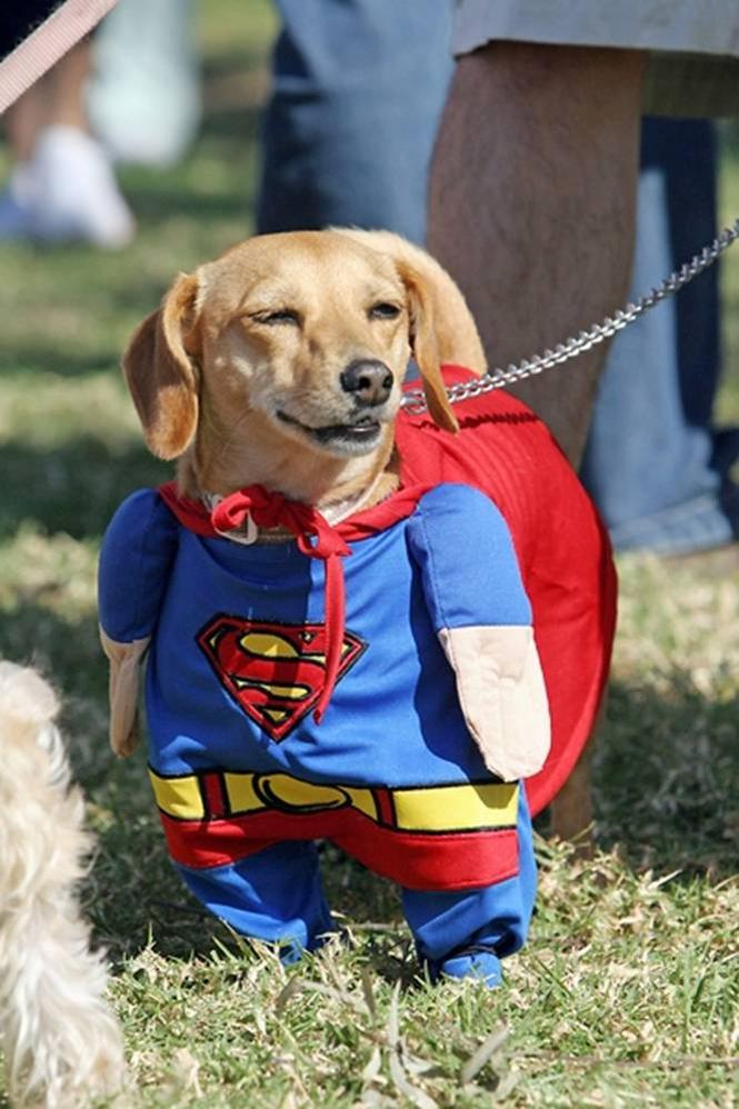 superman weiner dog
