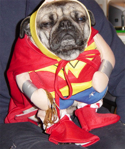 pugg dressed like wonderwoman