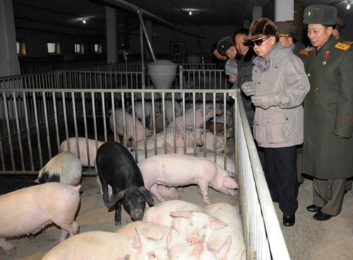 looking at pigs